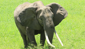 Elefant im Tarangiere Nationalpark