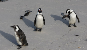 Boulders - False Bay: Brillenpinguin Kolonie (african pinguin / Jackass)