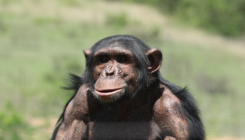 Chimp Eden - Dr Jane Goodall Institut