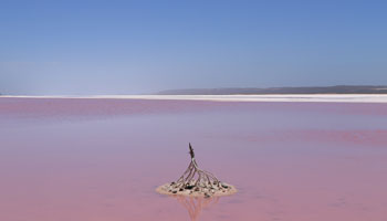 Pink Lage - Hutt River Lagoon
